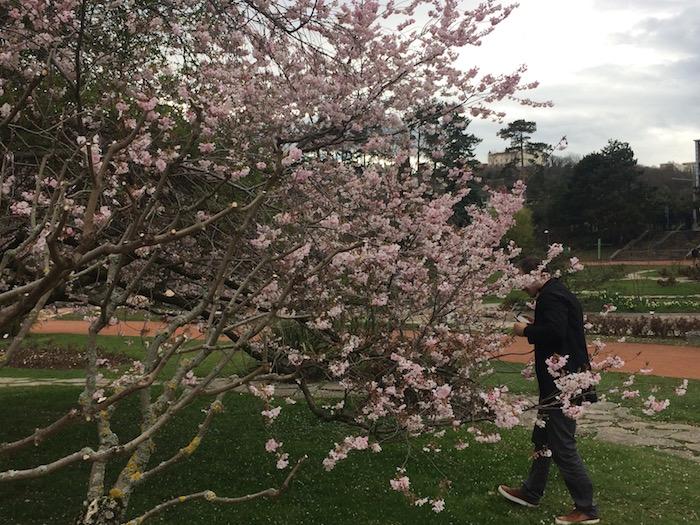 Prunus, parc de la Tête d'Or, Lyon, 2018