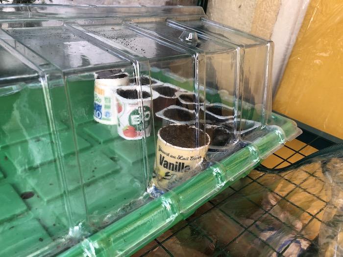 Semis en pots de yaourt